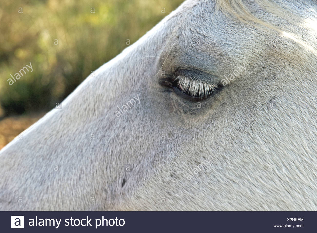 Camargue horse Stock Photo