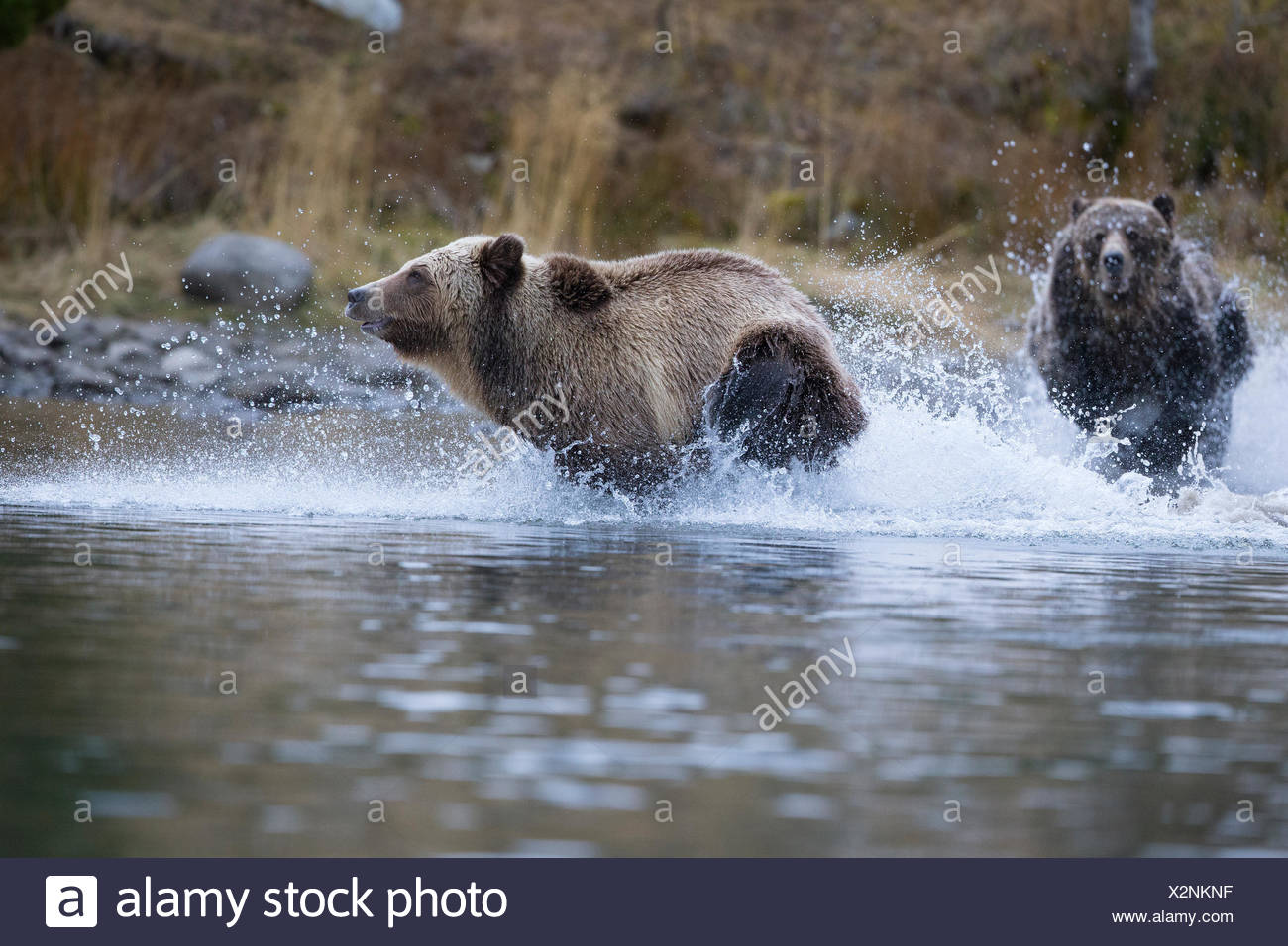 Grizzly bear (Ursus arctos horribilis), female chasing subdault (lighter cloloured) away from her cubs (off camera), Chilcotin Region, British Columbia, Canada. - Stock Image