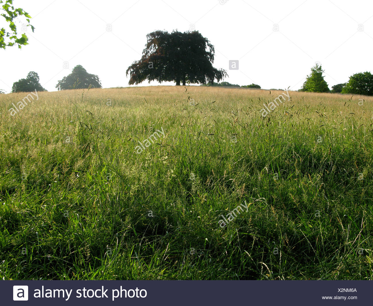 A tree in long grass in summertime - Stock Image