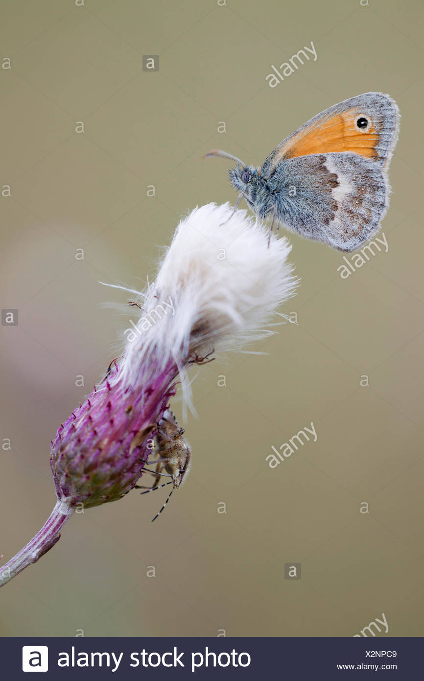 small heath (Coenonympha pamphilus), with Sloe Bug, Dolycoris baccarum, on a thistle, Germany, Schleswig-Holstein - Stock Image