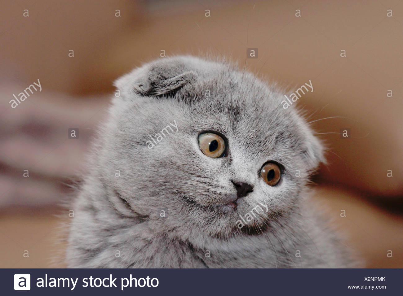 British Shorthair (Felis silvestris f. catus), little grey-haired British Shorthair kitten with floppy ears, portrait - Stock Image