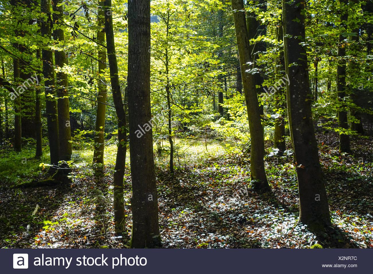 Sonnenstrahlen durchfluteten einen Wald, Sunbeams flooded the forest, background, Bavaria, Bavarian, beam, beams, beauty, botani - Stock Image