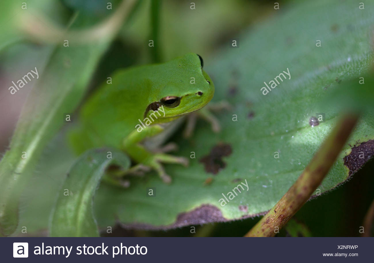 A green frog perches on a thorny plant in Prado del Rey, Sierra de Cadiz, Andalusia, Spain - Stock Image