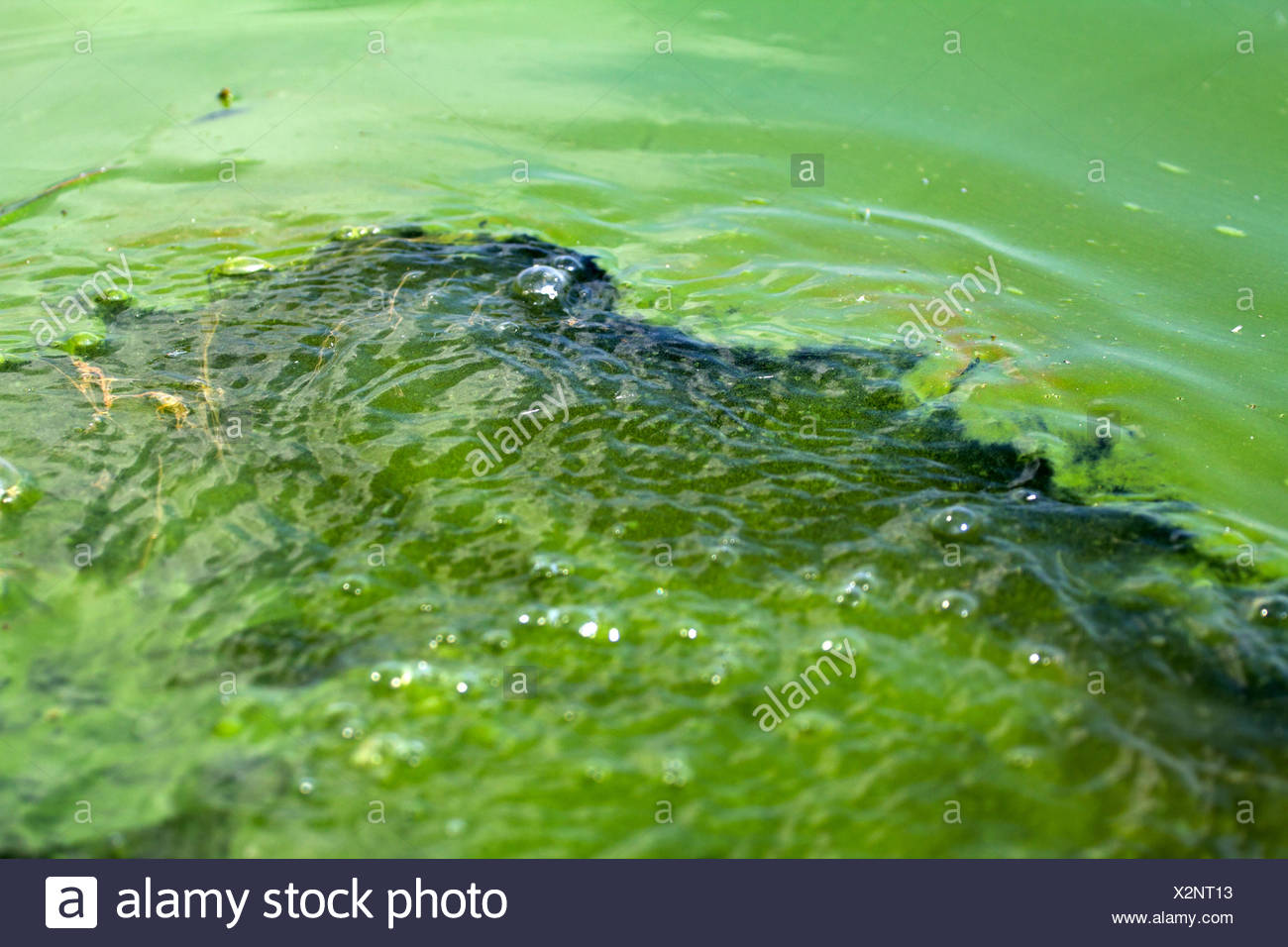 Algae polluted water (  green scum) - Stock Image