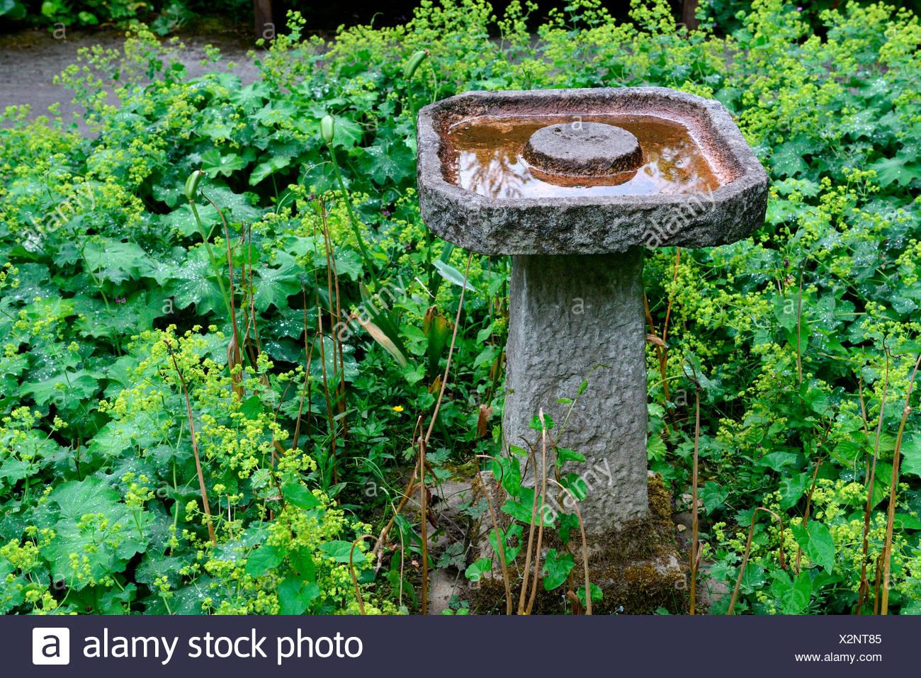 Vogeltraenke aus Stein in Garten, Frauenmantel, Alchemilla vulgaris ...