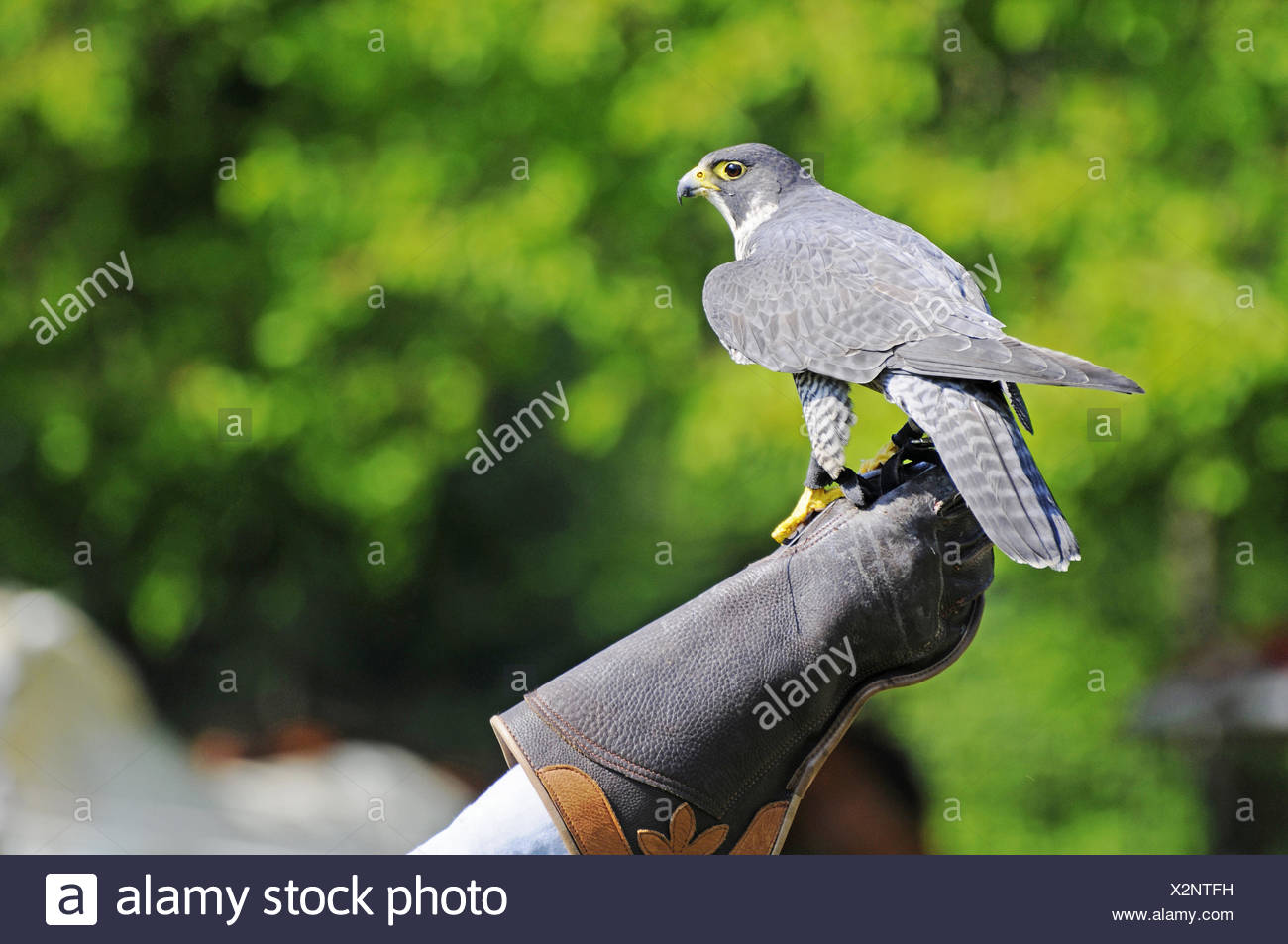 Peregrine Falcon on falconers hand, Germany - Stock Image