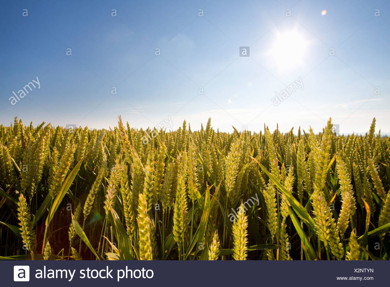 Sunny wheat field Stock Photo