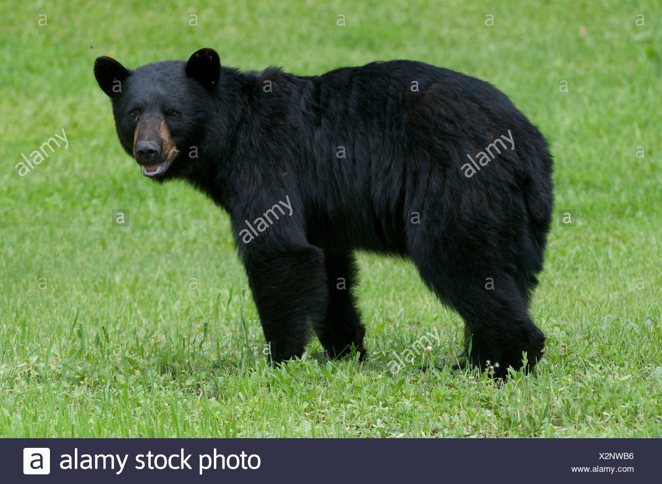A wild male Black Bear (Ursus americanus) with flies buzzing around his head in Sleeping Giant Provincial Park, Ontario, Canada - Stock Image