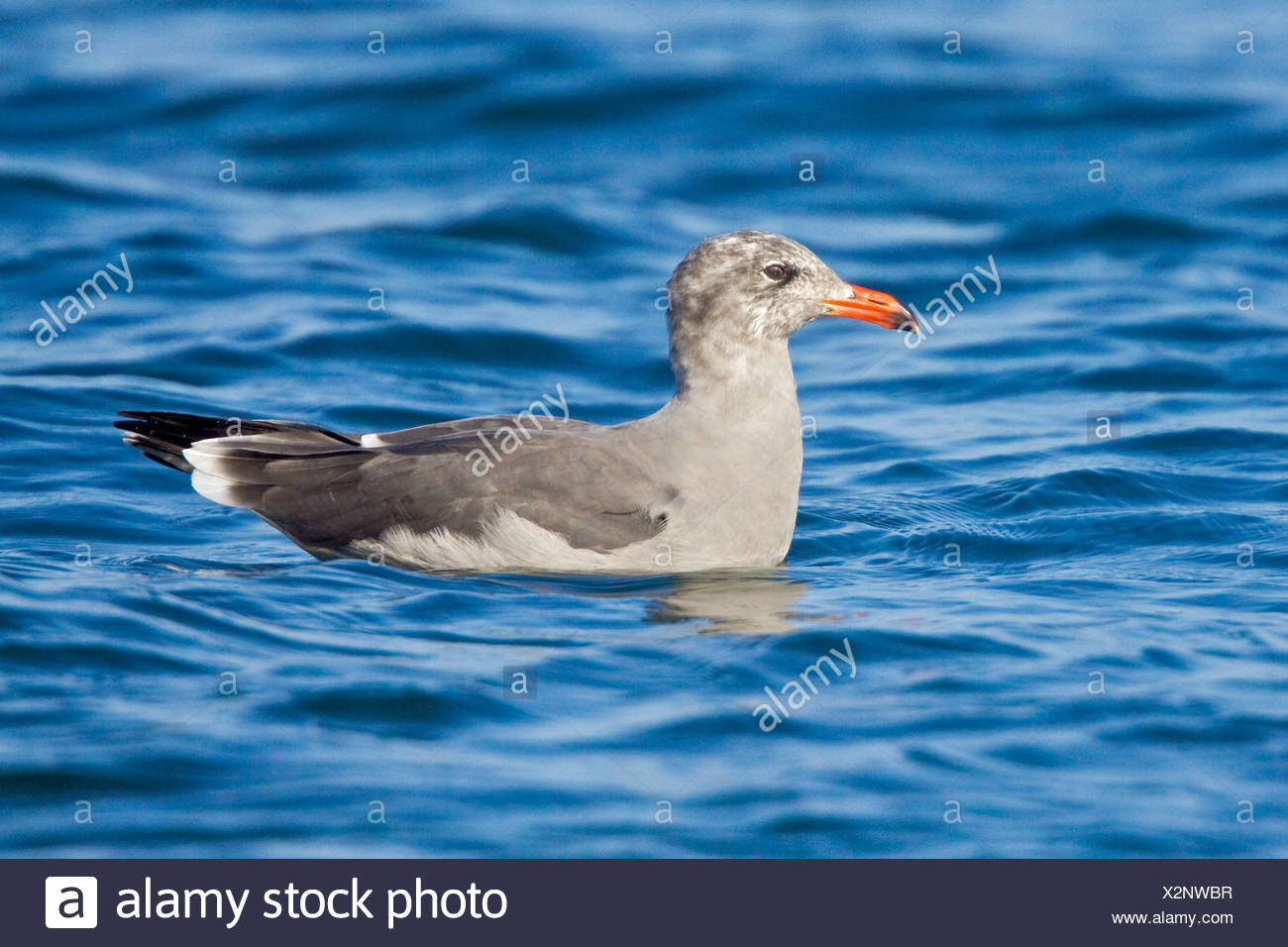 Heermann's Gull (Larus heermanni) swimming on the ocean near Washington, USA. - Stock Image