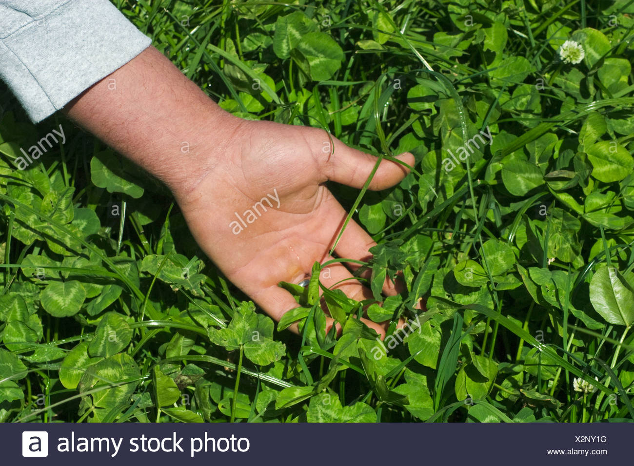 A dairy producers hand in clover at an organic dairy. The clover is grown as part of an intensive grazing program / California. - Stock Image