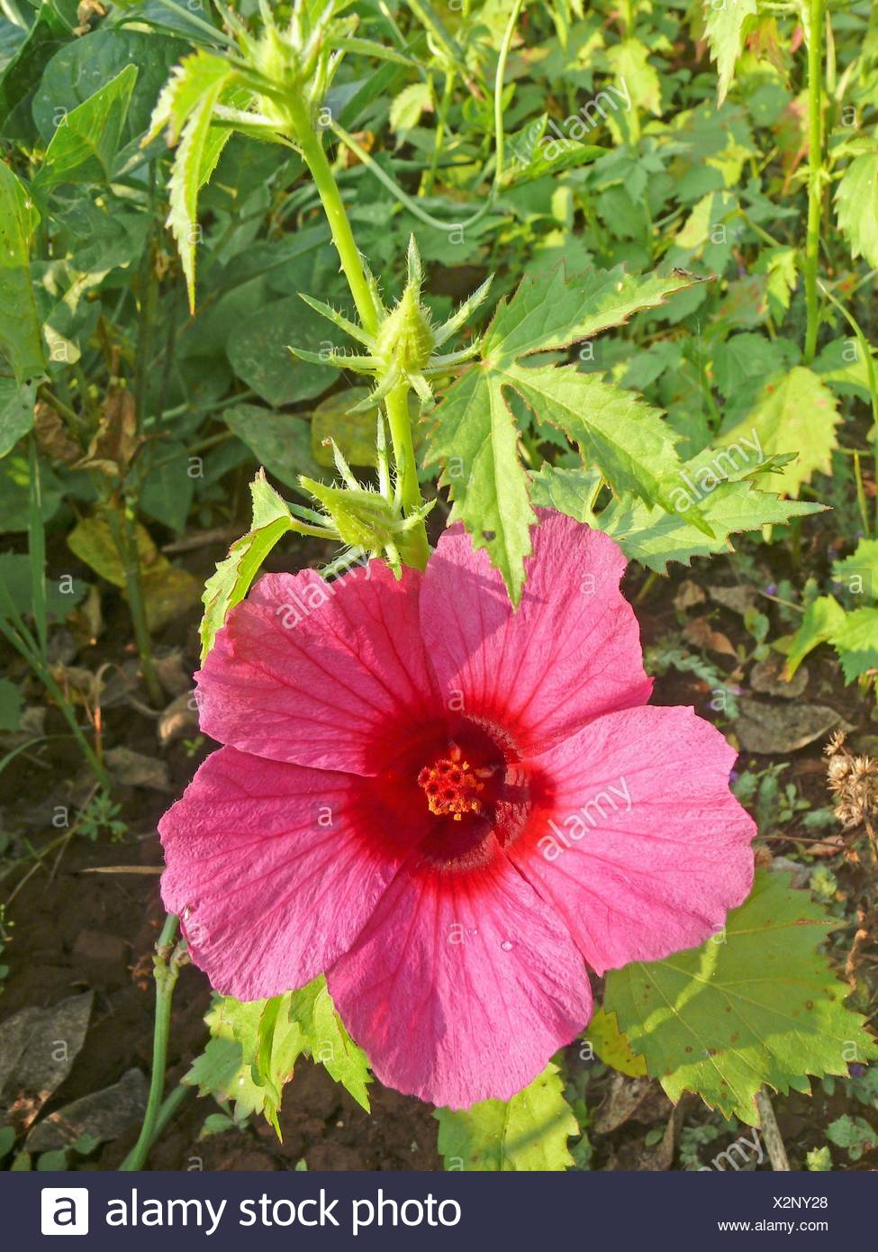 Hibiscus Sabdariffa Var Rubra Red Sorrel Roselle Florida