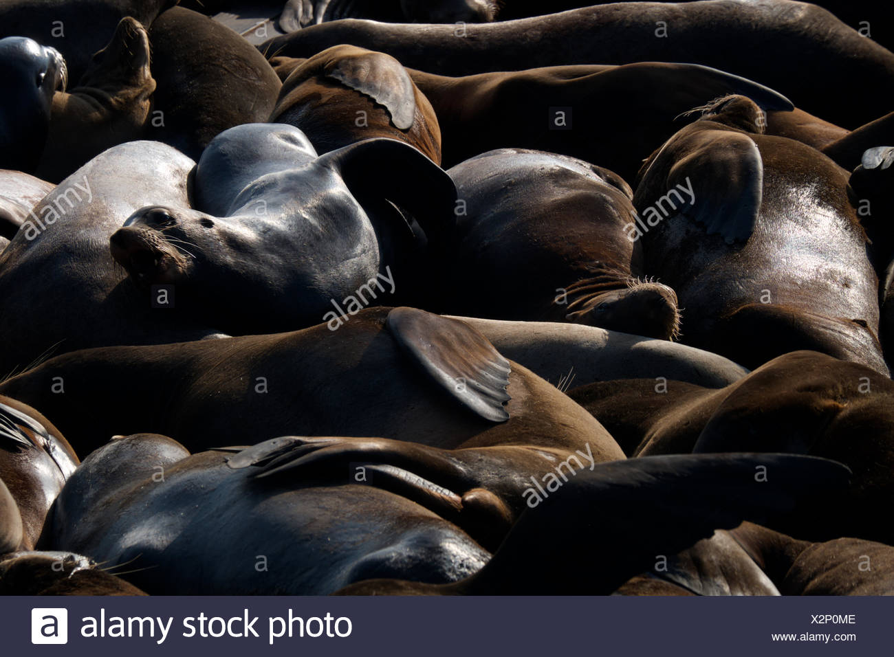 Sea Lions huddle close to each other at Pier 29 at Fisherman's Wharf in San Francisco, California. - Stock Image