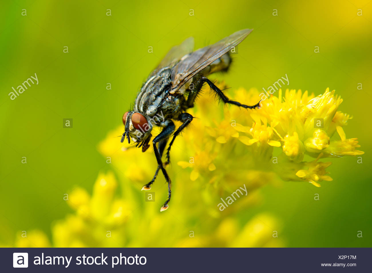 Common Flesh Fly Stock Photo