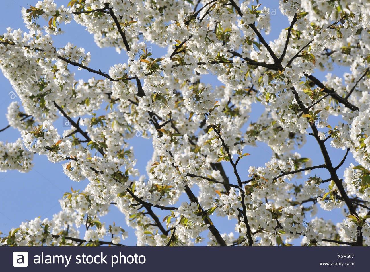 Tree, blossoms, flourishes, fruit-tree, white, cherry tree blossoms, prunus avium - Stock Image