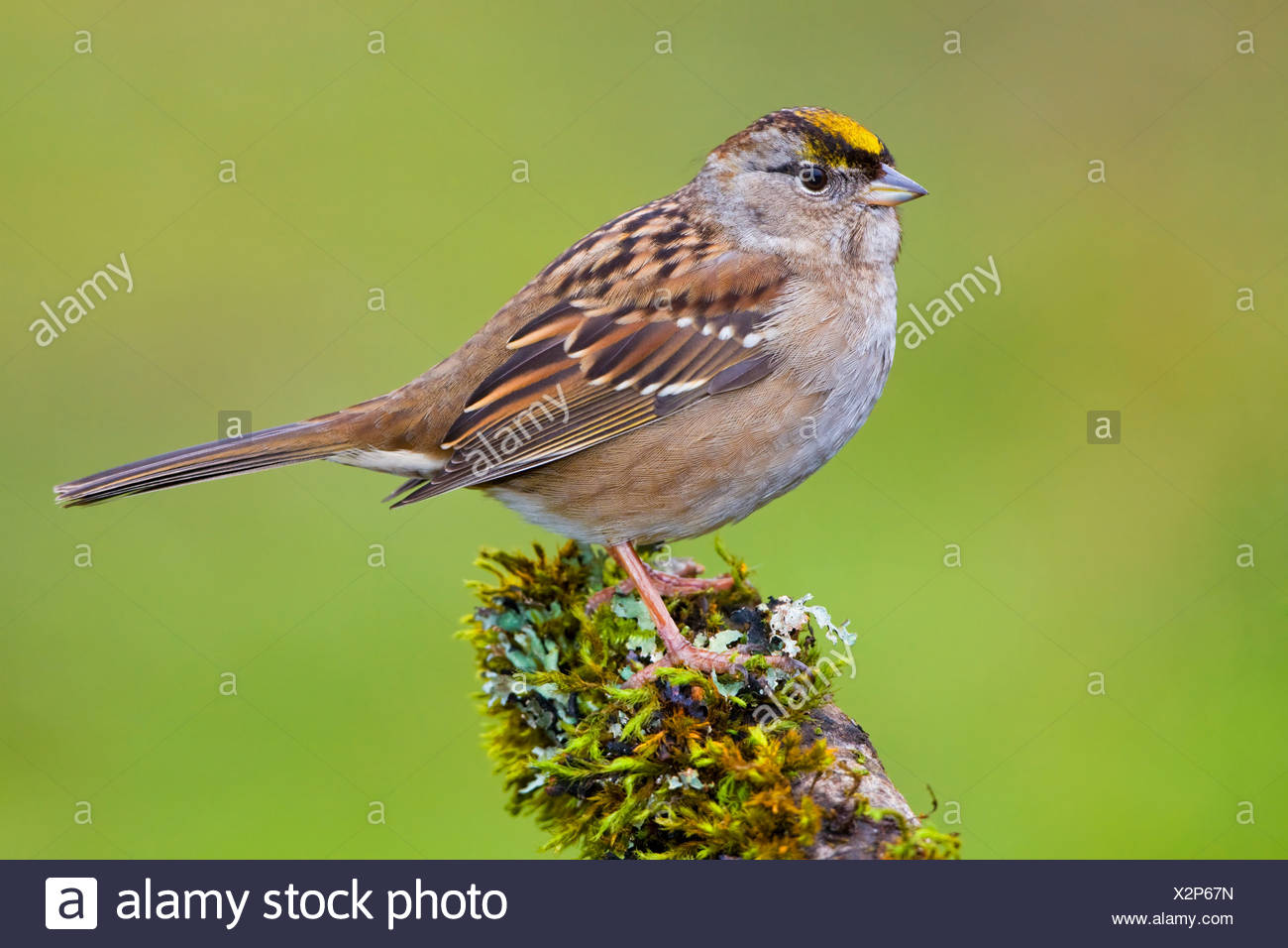 Golden-crowned Sparrow (Zonotrichia atricapilla) perched on mossy branch in Victoria, Vancouver Island, British Columbia, Canada - Stock Image