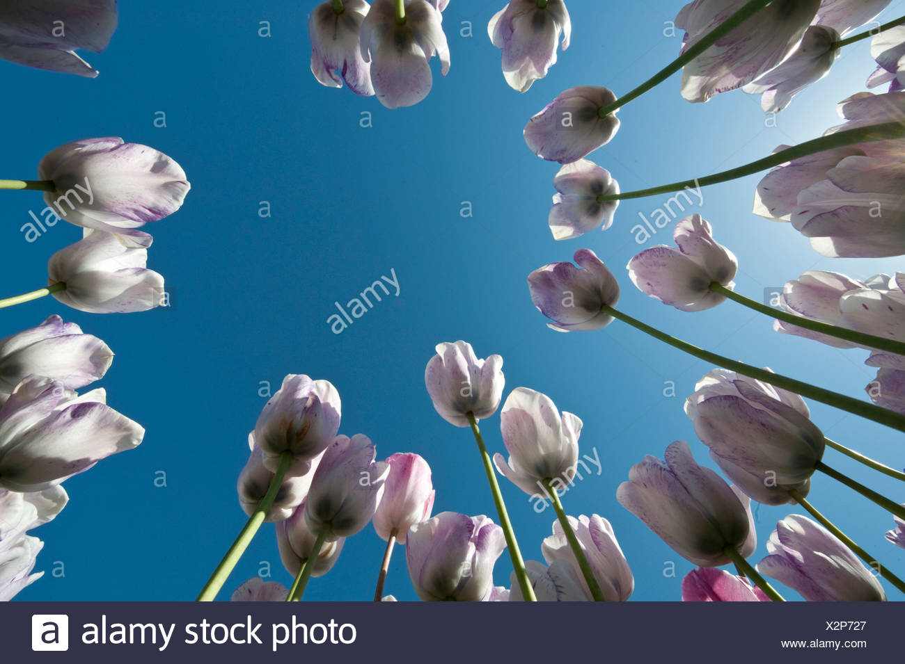 Tulips (Tulipa), Texel, Netherlands, Europe - Stock Image