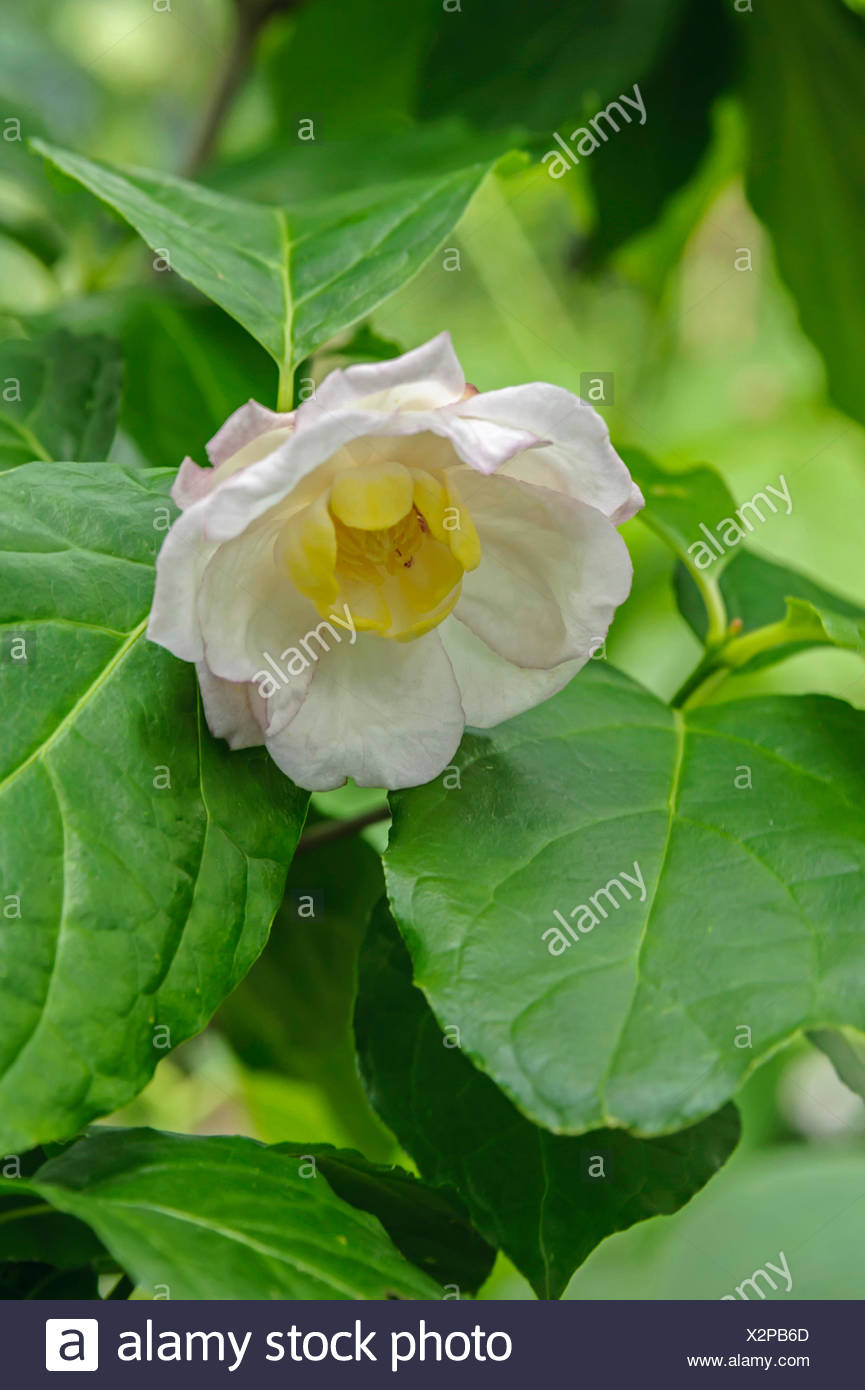 Carolina allspice (Sinocalycanthus chinensis, Calycanthus chinensis), branch with flower - Stock Image