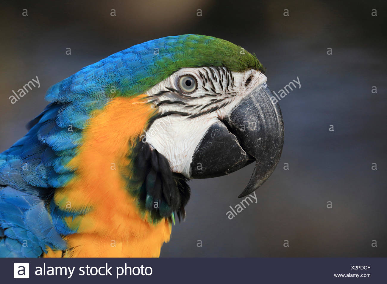 Blue and yellow macaw, Blue and gold Macaw, Blue-and-gold Macaw, Blue-and-yellow Macaw (Ara ararauna), portrait Stock Photo
