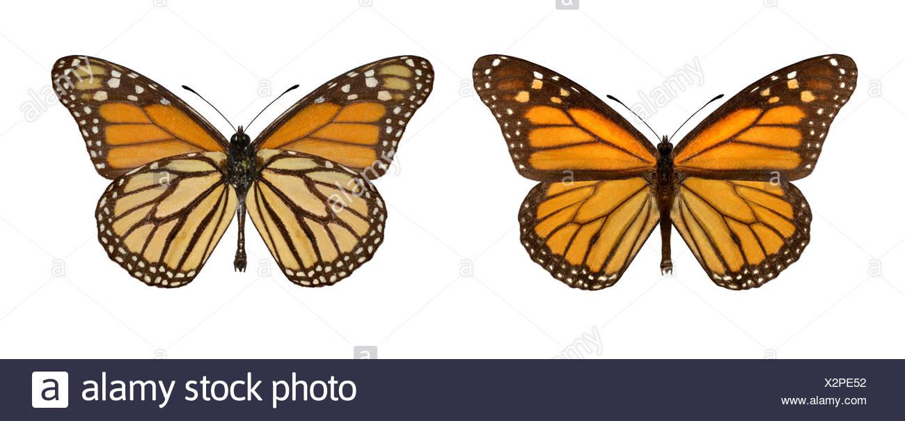 Monarch - Danaus plexippus - male (right) - female (left) - Stock Image