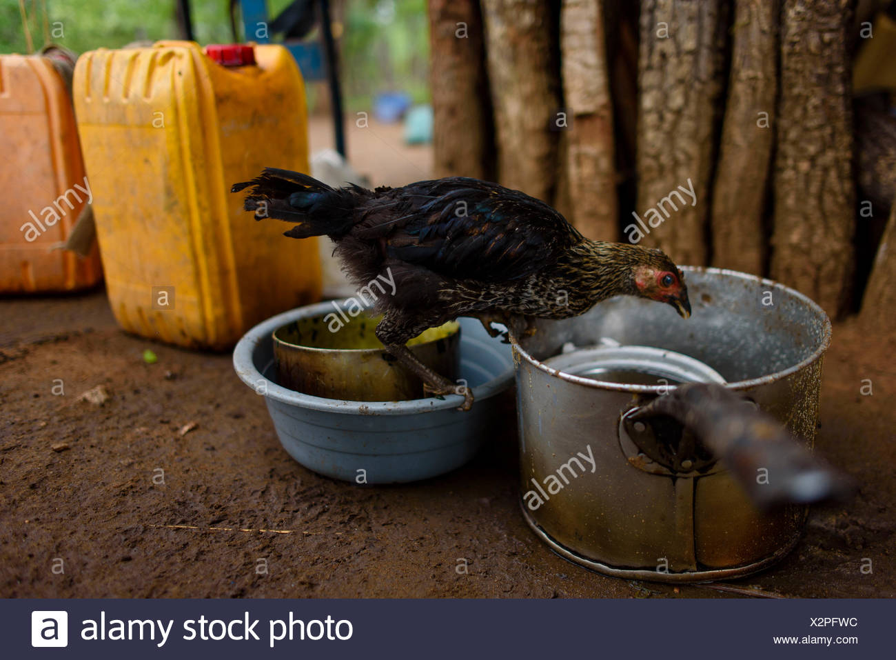 A chicken searches for itself food leftovers - Stock Image