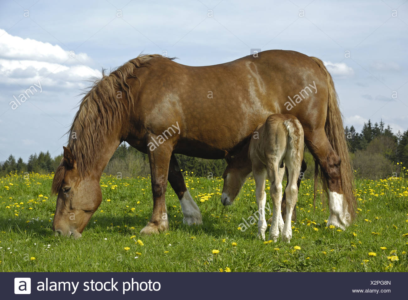 Draught horse, mare with foal - Stock Image
