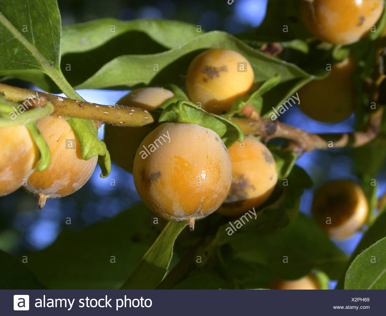 date plum tree (Diospyros lotus), fruits Stock Photo