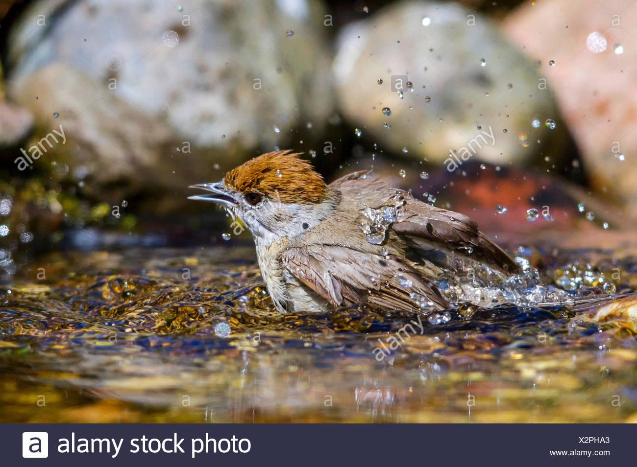 Moenchsgrasmuecke, Moenchs-Grasmuecke (Sylvia atricapilla), Weibchen badet im Bach, Deutschland, Mecklenburg-Vorpommern | blackc - Stock Image