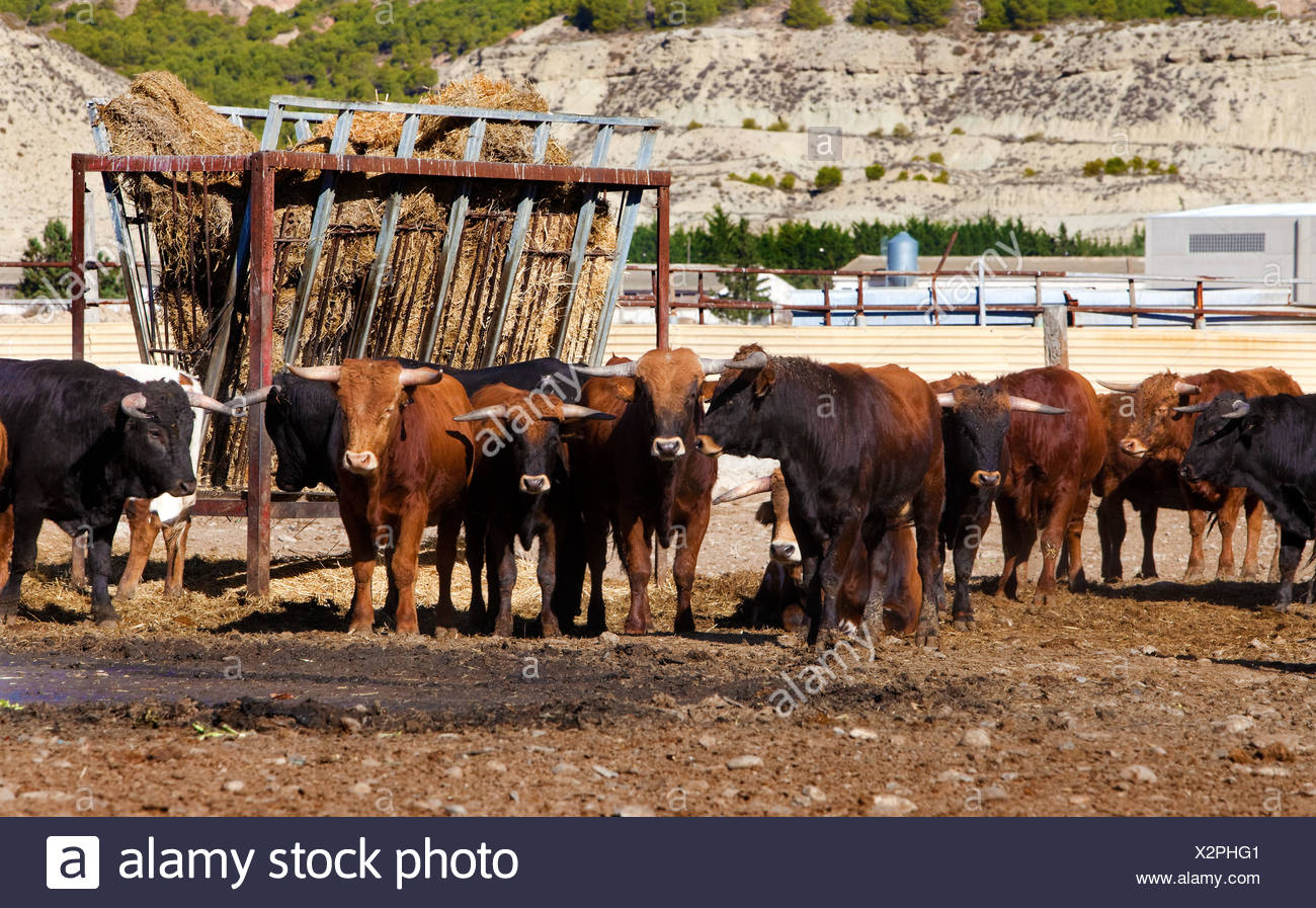 Bulls on a farm Stock Photo