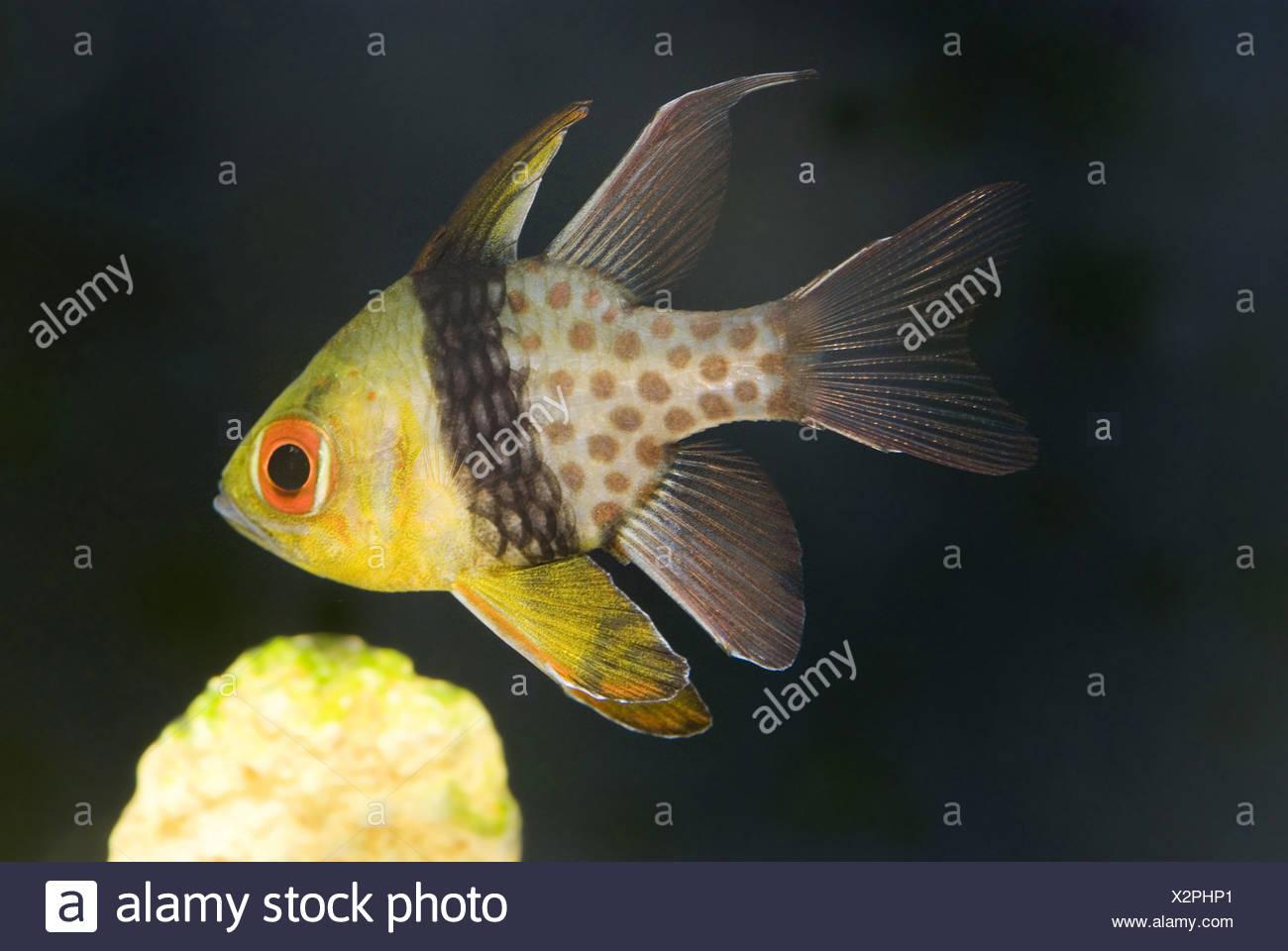 pajama cardinalfish, sphaeramia nematoptera - Stock Image