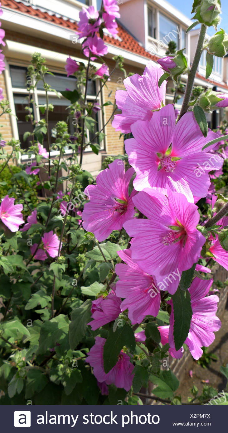 Bush mallow, bush mallow (Lavatera olbia), blooming in a frontgarden - Stock Image