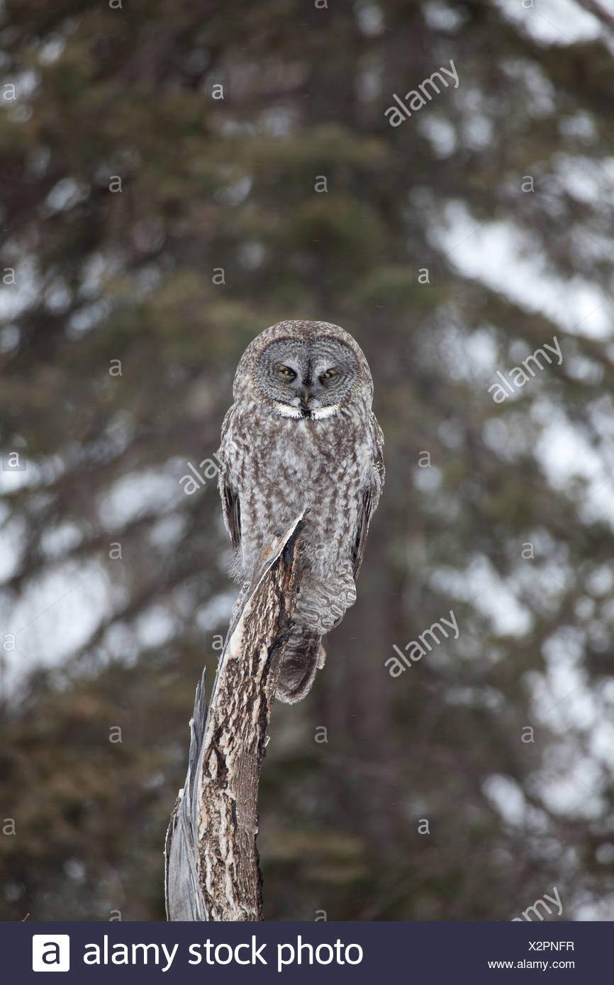 A great gray owl perches on a dead cottonwood tree and surveys the area around it for voles while hunting during a snow storm - Stock Image