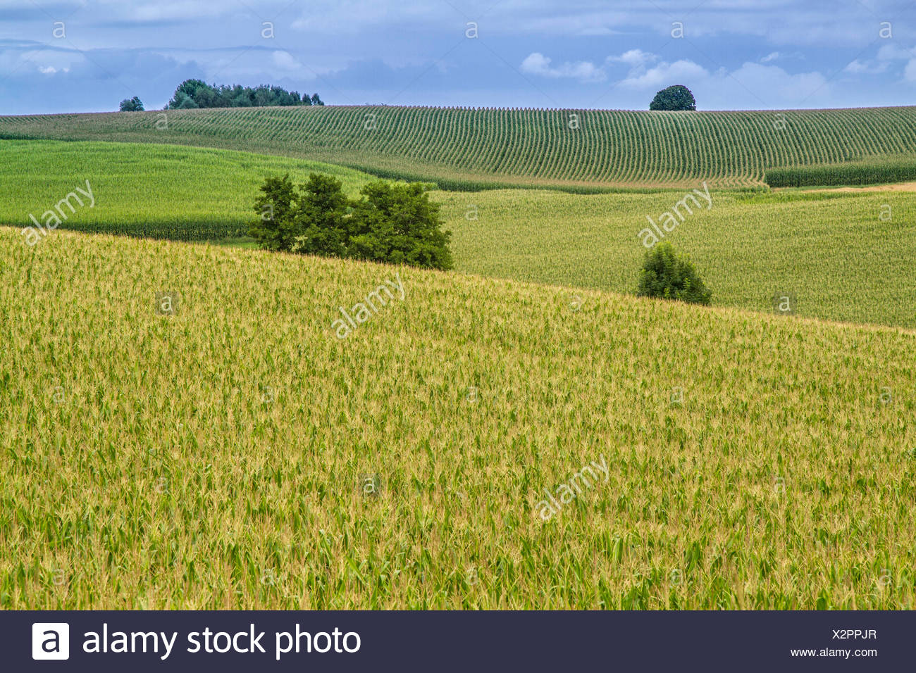 Indian corn, maize (Zea mays), biomass fields, Germany, Bavaria, Isental, Dorfen - Stock Image