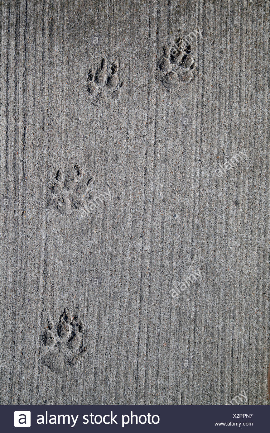 Germany, Berlin, Dog foot prints in concrete - Stock Image
