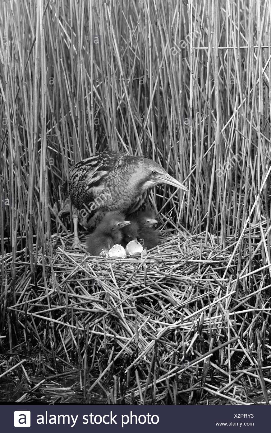 Bittern at nest, Minsmere Suffolk 1950. Taken by Eric Hoskng - Stock Image