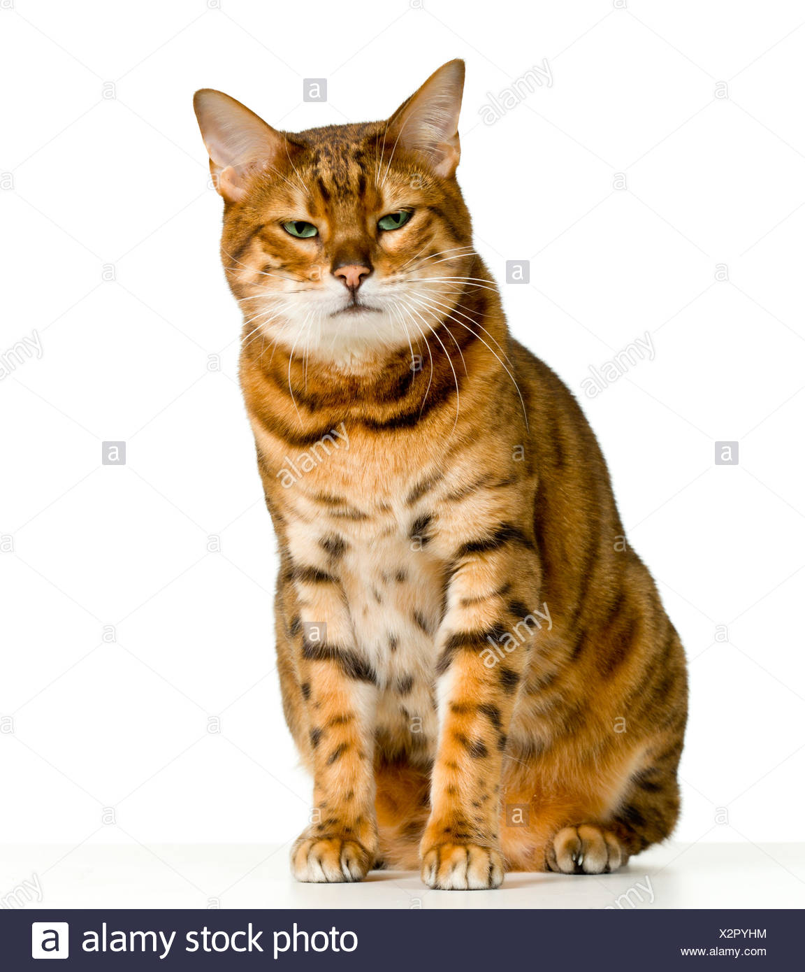 Cute Bengal kitten looks angry as it stares at the viewer - Stock Image