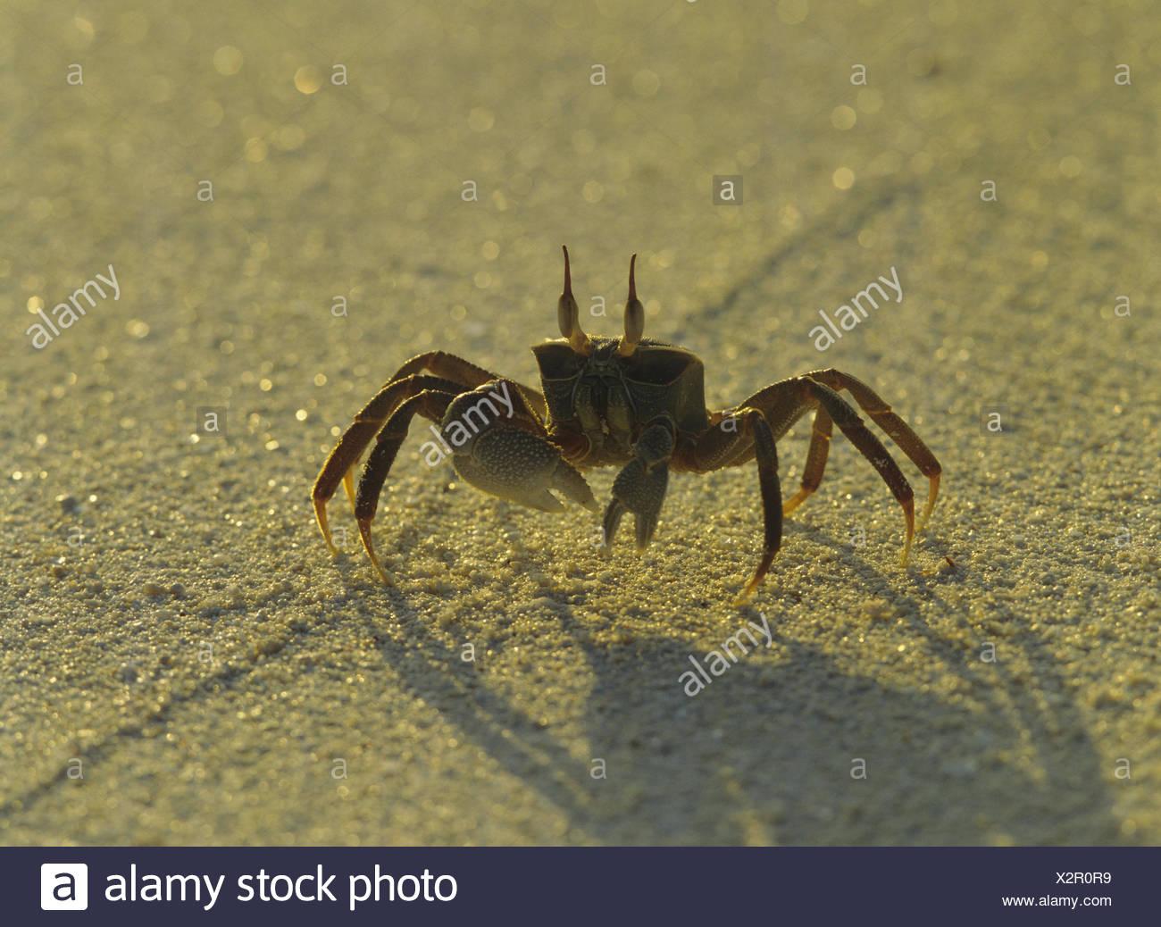 Beach, mind crab, Ocypode spec., Sand, sandy soil, animal, crab, wild animal, mind crab, ghost's crab, light, shade, Stock Photo