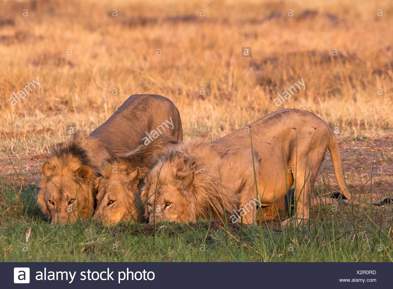 Three lions, Panthera leo, drinking at sunset. - Stock Image