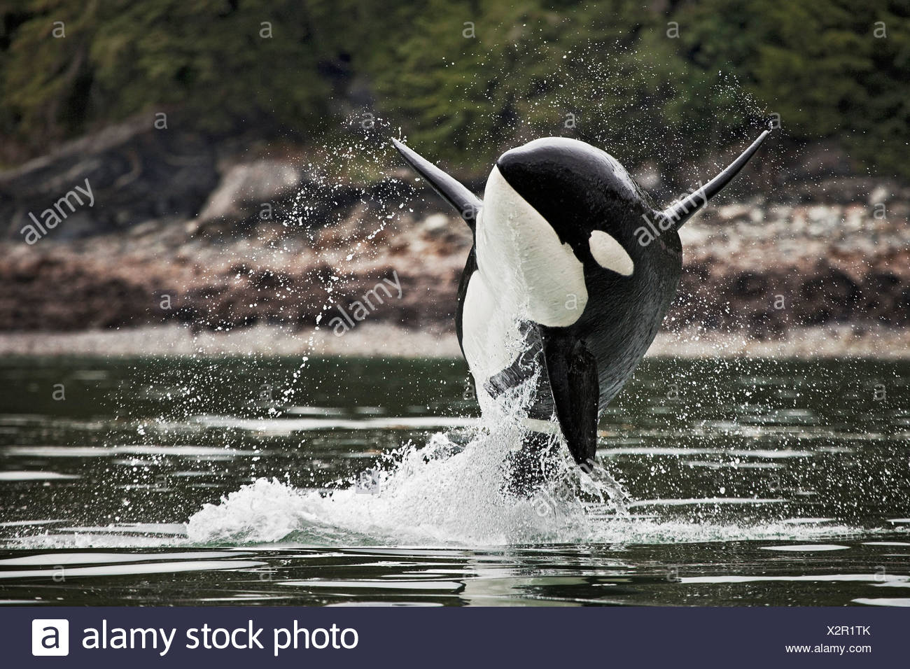 A male orca can be identified easily its tall straight dorsal fins. females have significantly smaller dorsal fins bit curve. - Stock Image