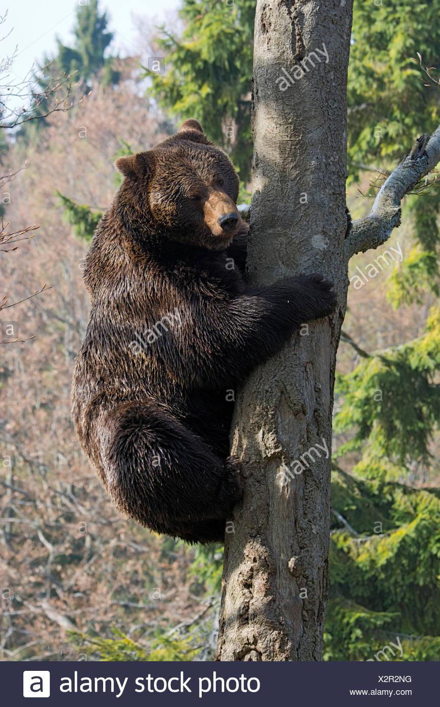 Brown bear (Ursus arctos), male climbing tree, captive, animal enclosure, Bavarian Forest National Park, Bavaria, Germany - Stock Image