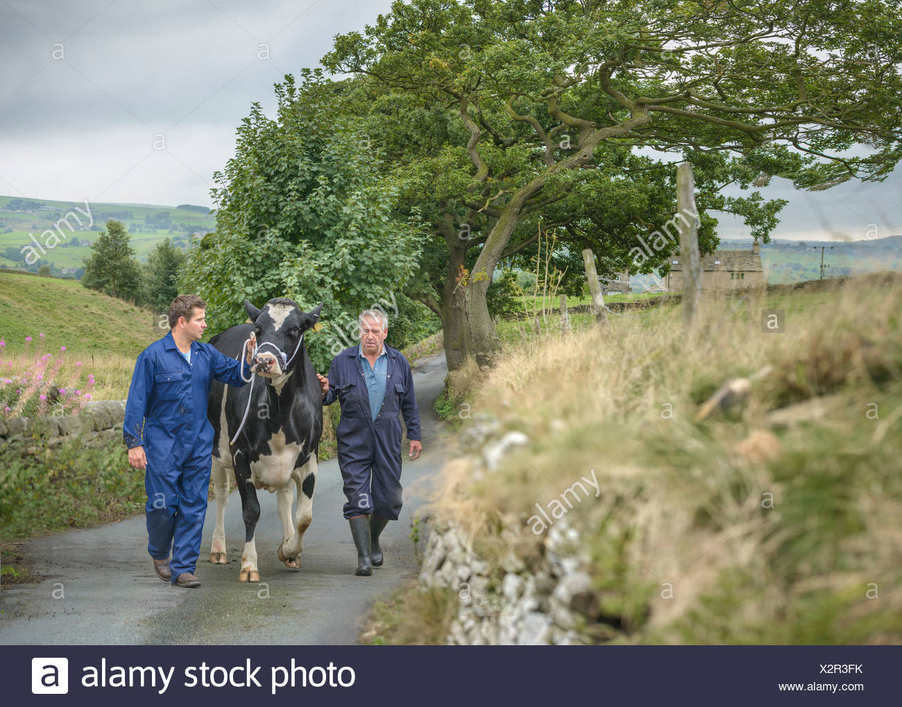 Farmer and son leading dairy cow on road - Stock Image
