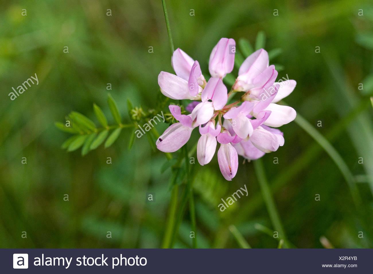 Crown vetch securigera varia close up of flower stock photo crown vetch securigera varia close up of flower izmirmasajfo