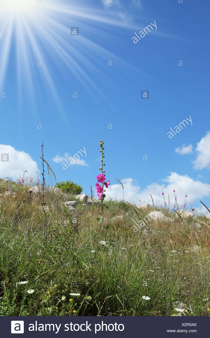 Latest pink flowers and dried grass - Stock Image