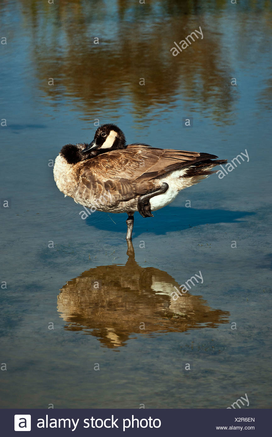 Canadian goose standing on one leg. - Stock Image