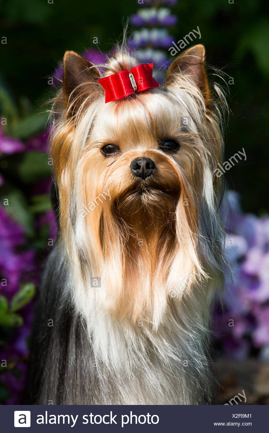 Yorkshire Terrier Dog With Long Hair In Show Condition