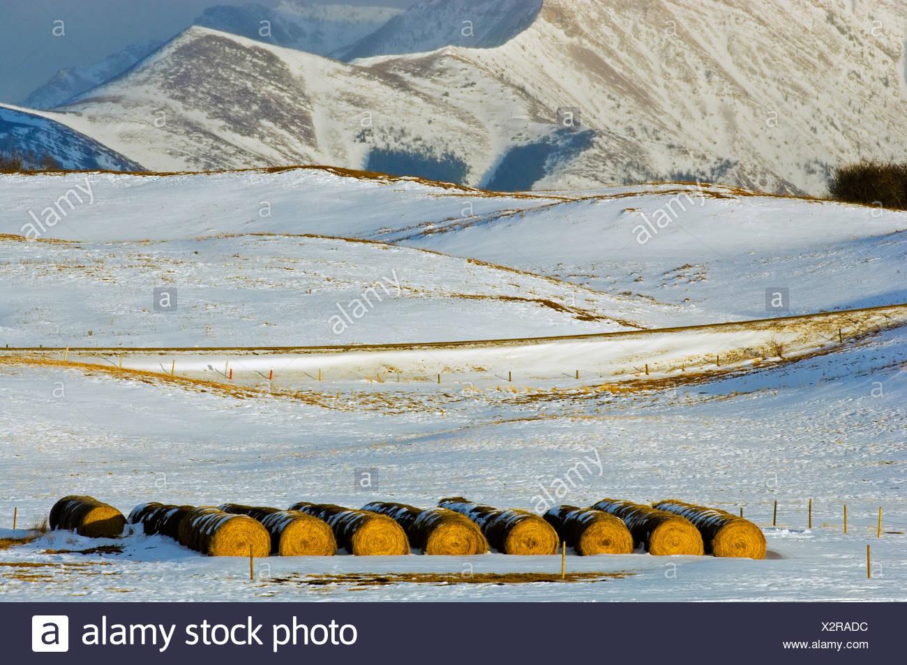 Hay bales in snowy field, Twin Butte, Alberta, Canada - Stock Image