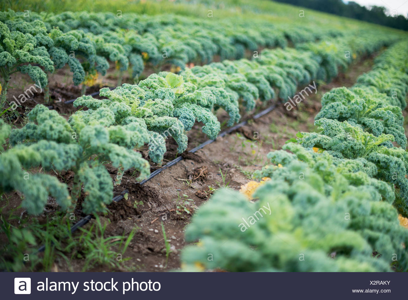 Rows of curly green vegetable plants growing on an organic farm. - Stock Image