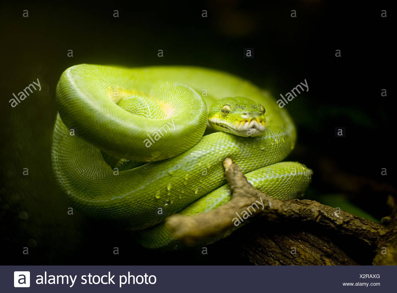 Snake - Stock Image
