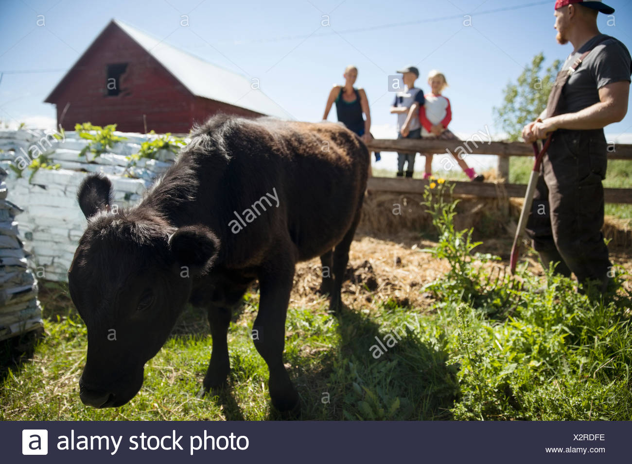 Family farmers watching cow grazing on sunny farm - Stock Image