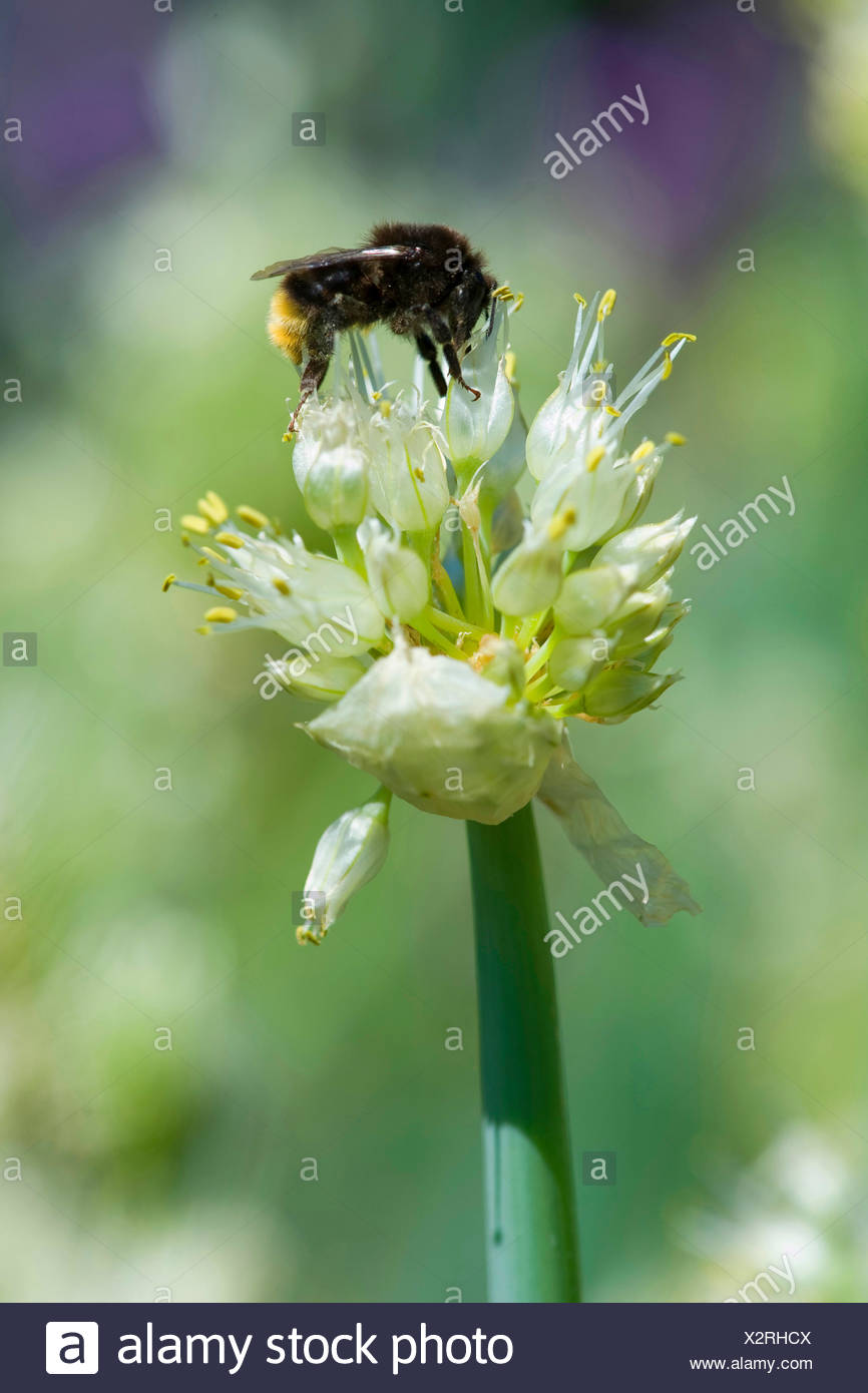 welsh onion (Allium fistulosum), inflorescence with bumble bee, Germany - Stock Image
