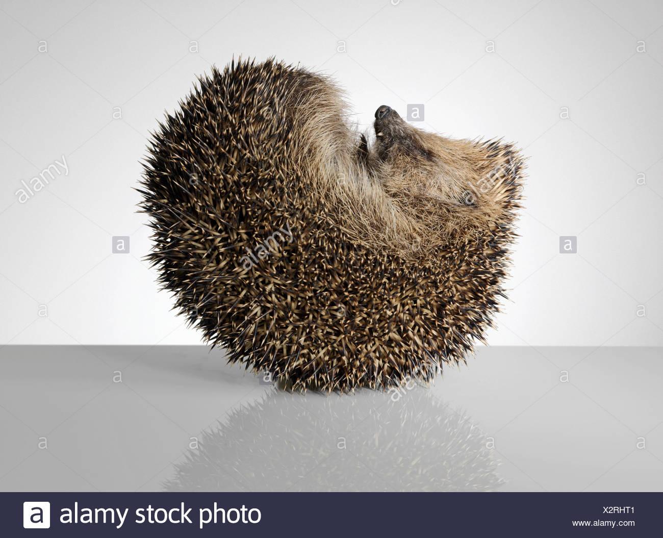 Hedgehog, curled up - Stock Image